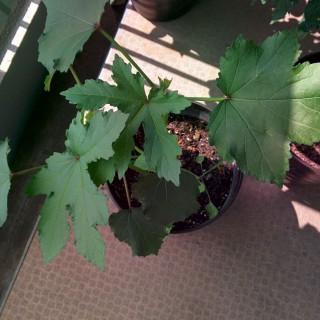 オクラを植えてみました~1ヶ月経過~[家庭菜園]