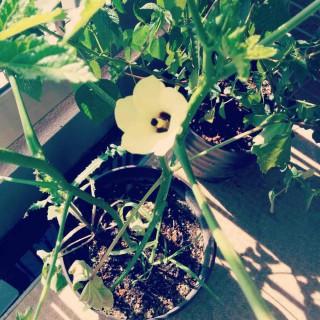 オクラを植えてみました〜1ヶ月半経過〜